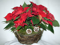Poinsettia Centerpiece