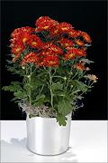 Chrysanthemum reno