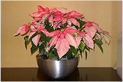 Poinsettia- monet arrangements